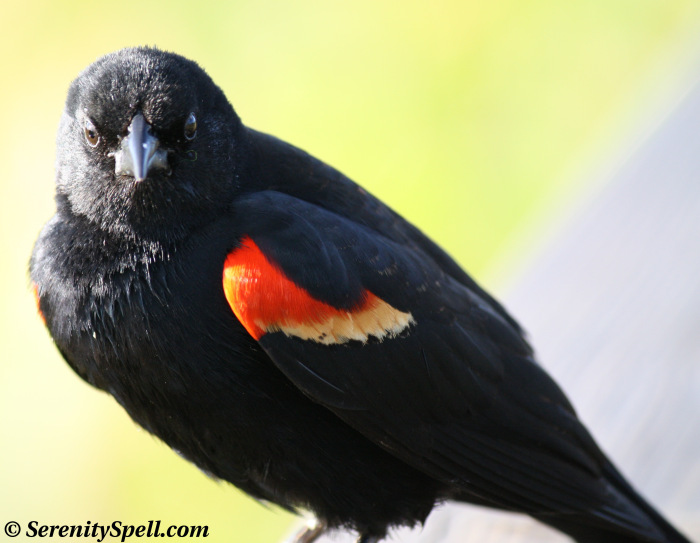 Red Winged Blackbird – my mom's favorite bird